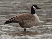 18th Jan 2021 - Canada goose