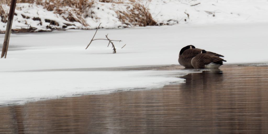 canada geese on a river bank by rminer