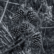 18th Jan 2021 - Pine Cones