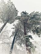 20th Jan 2021 - Trees.