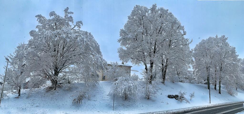 White trees.  by cocobella