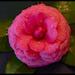Camellia Flower!