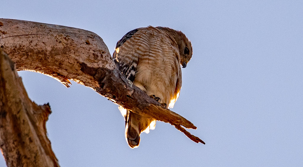 Red Shouldered Hawk Looking down by rickster549