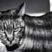 096 - Wildcat