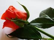 19th Jan 2021 - orange rosebud
