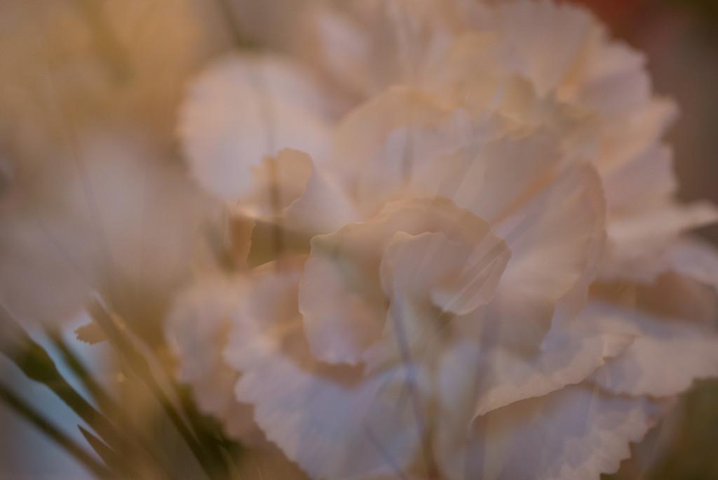 19th January. Carnation. by newbank