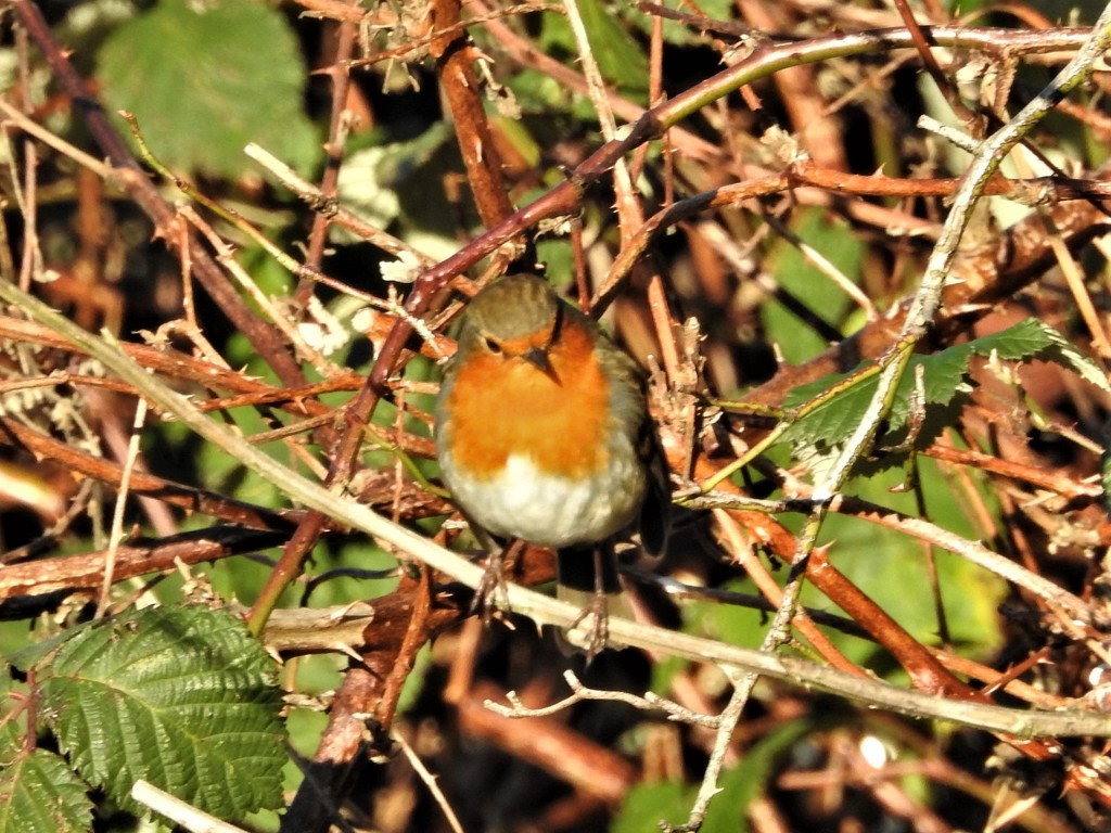Robin Enjoying the Sunshine by oldjosh