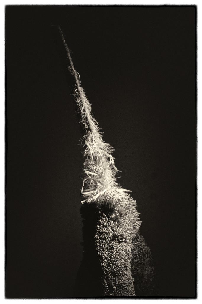 Typha by joysabin