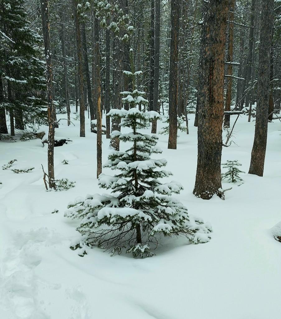 Small Snowy Pine by harbie