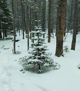 17th Jan 2021 - Small Snowy Pine