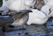 19th Jan 2021 - JUVENILE HERRING GULL