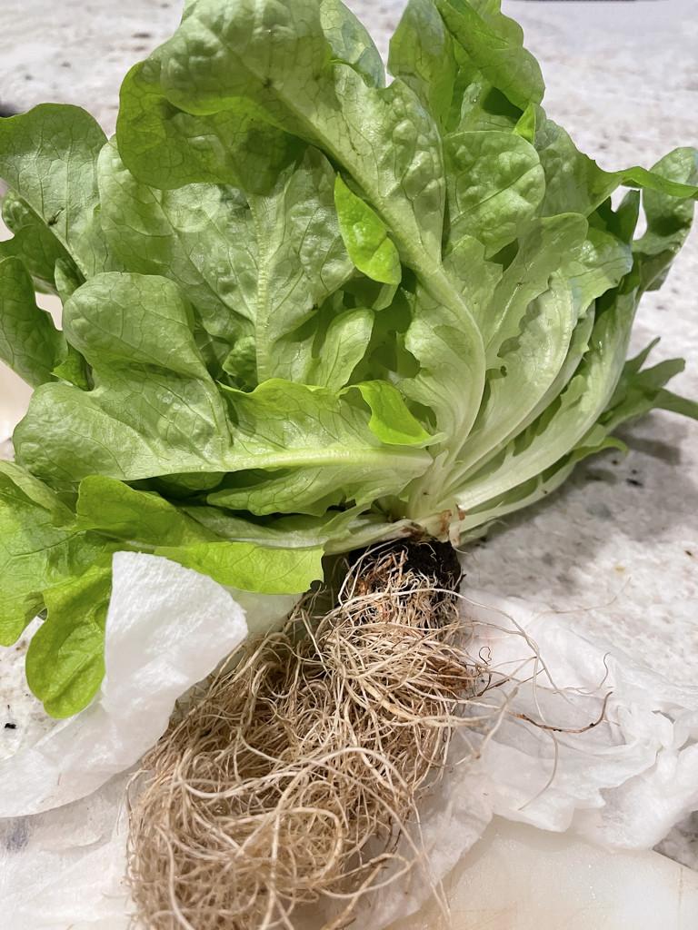 Farmer's Market lettuce by shutterbug49