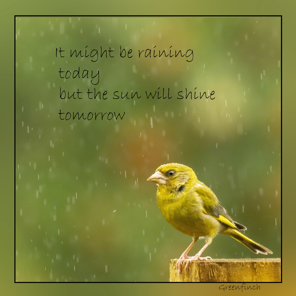 Greenfinch in the rain by shepherdmanswife