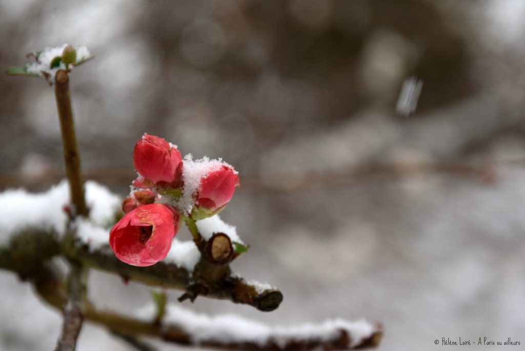 too early bloom  by parisouailleurs