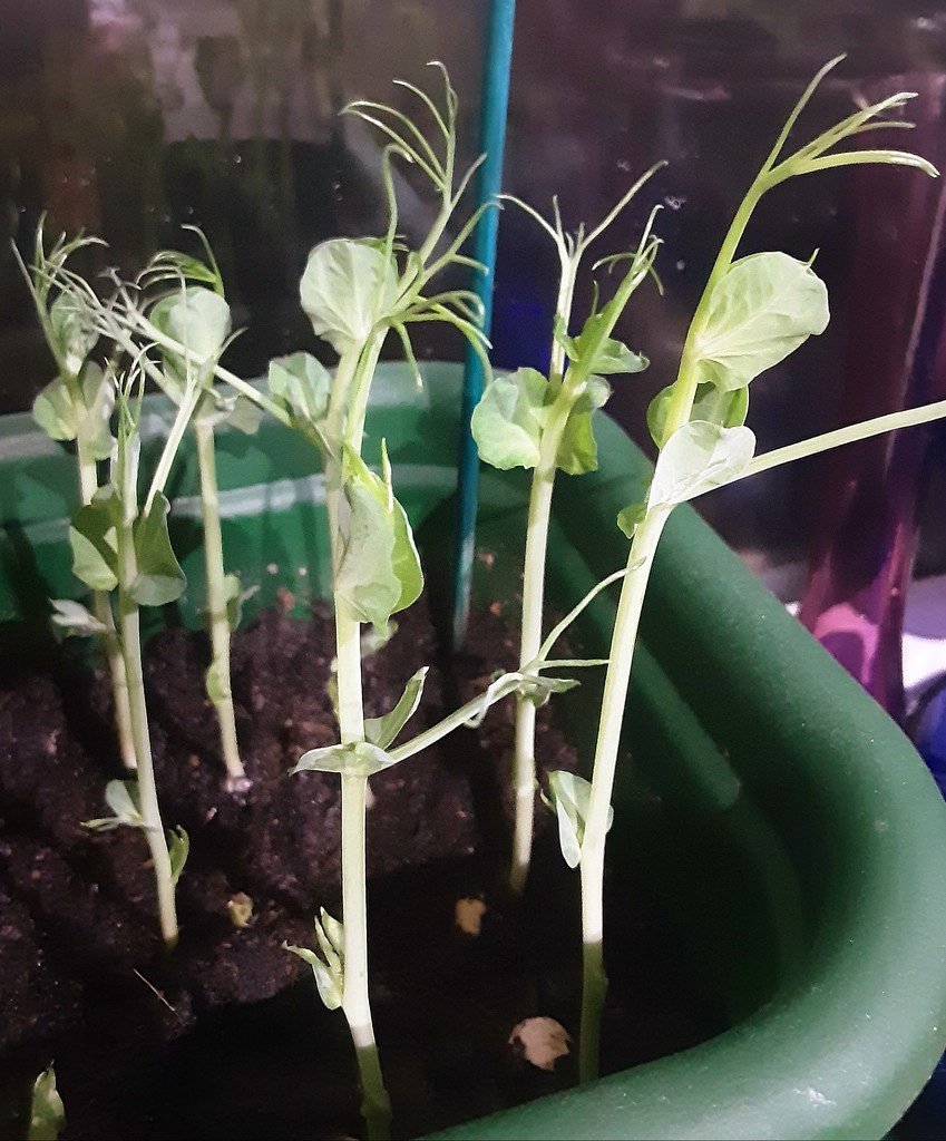 Pea shoots grown in a window box indoors  by grace55