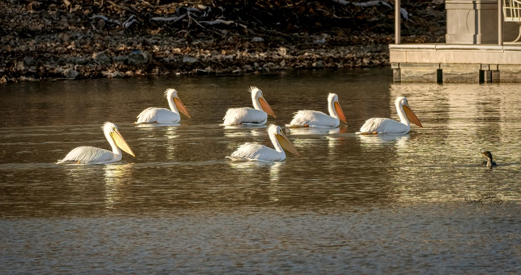 Pelican Party in the cove by samae
