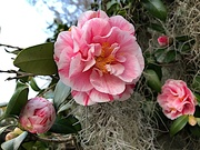 19th Jan 2021 - Camellias to temper a cold January afternoon.