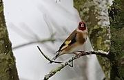 19th Jan 2021 - Snowy Goldfinch