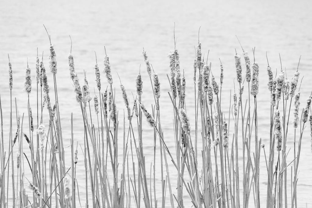 Cattail Seed Masses by k9photo
