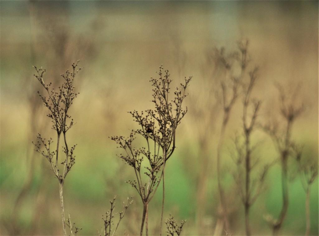 Meadowsweet in winter  by julienne1