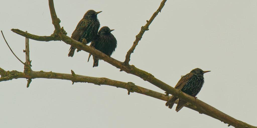 European starlings by rminer