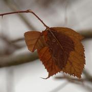 19th Jan 2021 - Raspberry leaf