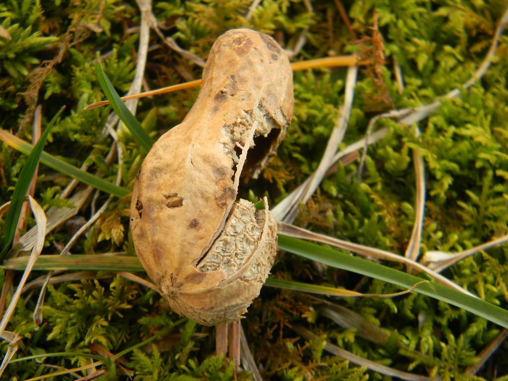 Peanut Shell by sfeldphotos