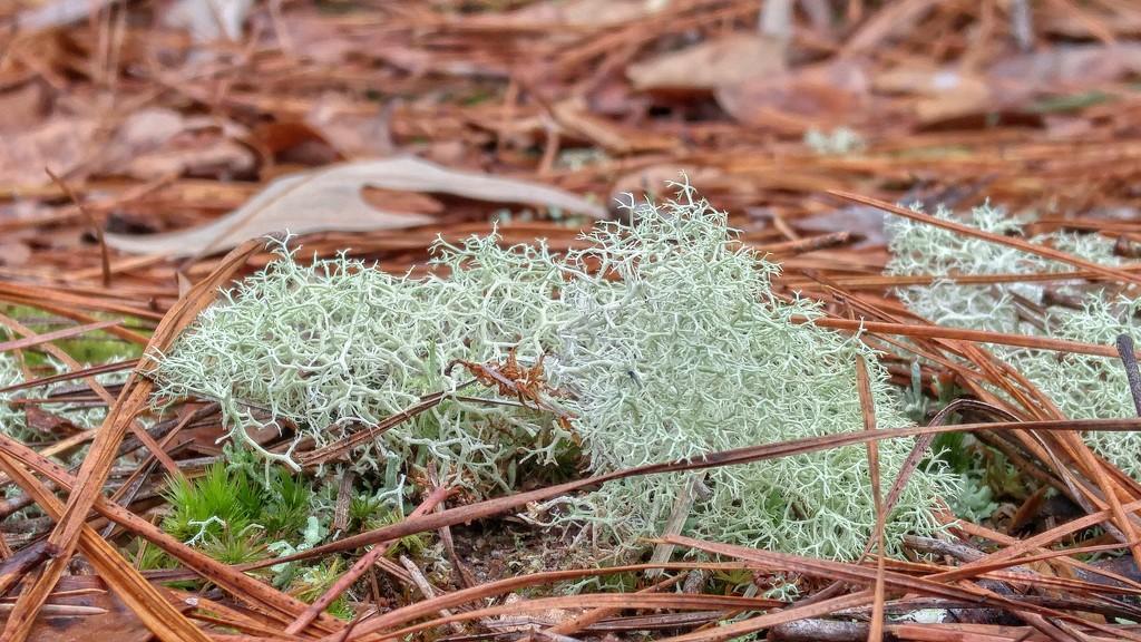 Cladonia rangiferina and Polytrichum commune by marlboromaam