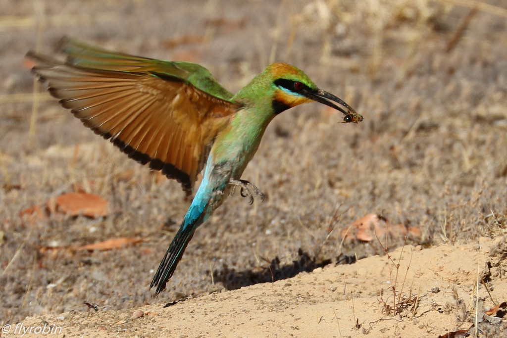 Rainbow bee-eater approaching the burrow by flyrobin