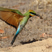 Rainbow bee-eater approaching the burrow