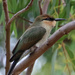 Young Rainbow bee-eater