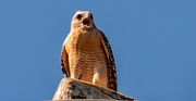 19th Jan 2021 - Red Shouldered Hawk Making a Lot of Noise!