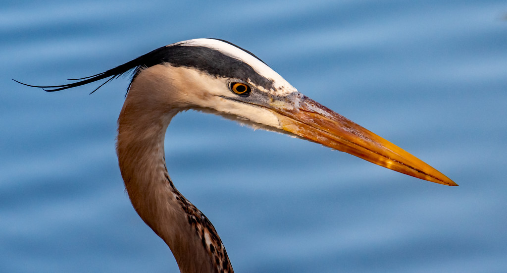 Blue Heron Posing for it's Portrait! by rickster549