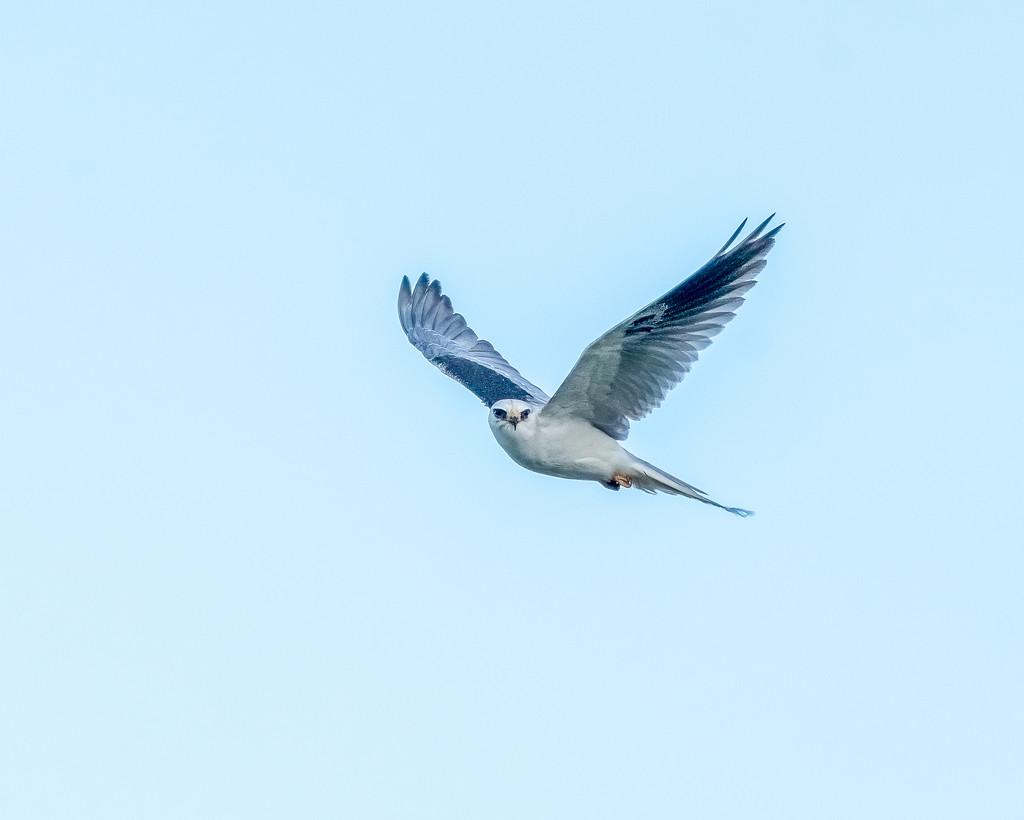 White-tailed Kite by nicoleweg