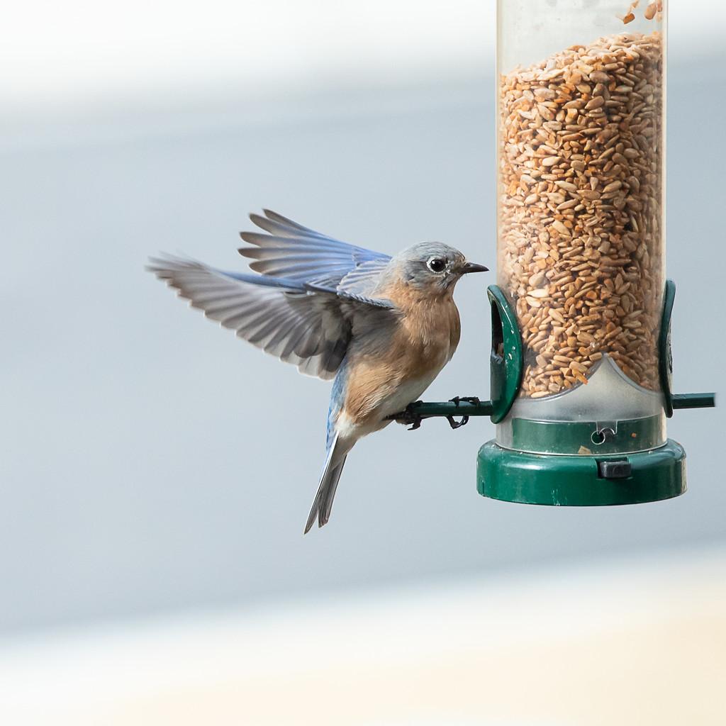 Pretty Bluebird by jnorthington