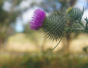 14th Jan 2021 - Thistle profile