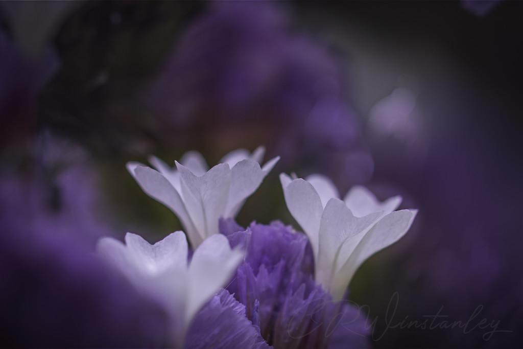 White through Purple by kipper1951