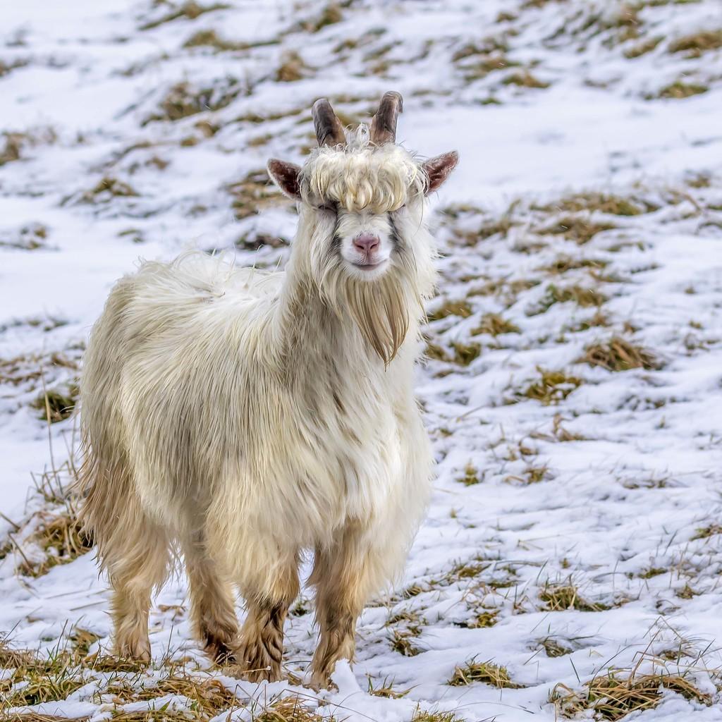 Mountain Goat by shepherdmanswife