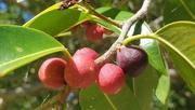 13th Jan 2021 - Port Jackson Figs
