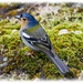 Madeiran Chaffinch (sub-species) filler