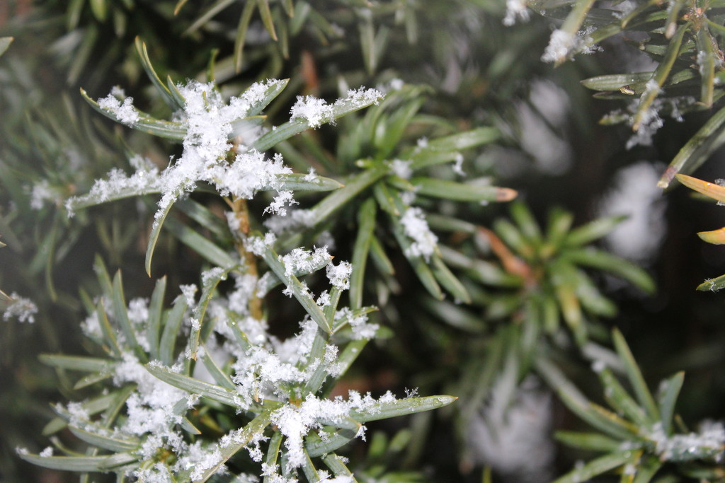 Snowflakes on evergreen by jb030958