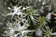 20th Jan 2021 - Snowflakes on evergreen