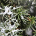 Snowflakes on evergreen