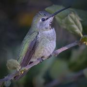 20th Jan 2021 - Female Anna Hummingbird
