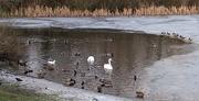 20th Jan 2021 - Birds on the Lake