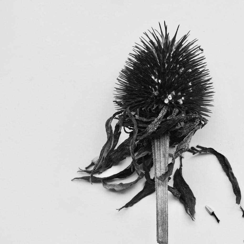 Flowerhead by jacqbb