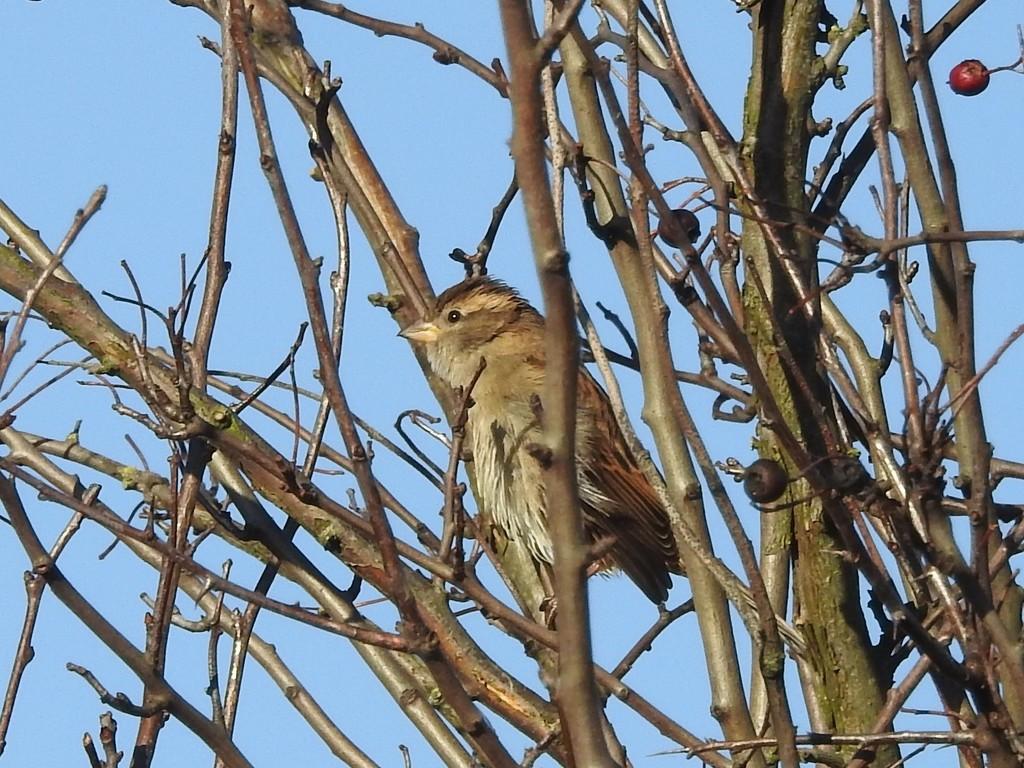Sparrow by oldjosh