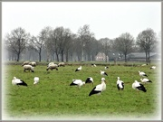 21st Jan 2021 - storks and sheep