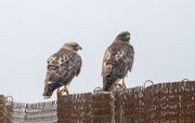 20th Jan 2021 - Red-tail Pair