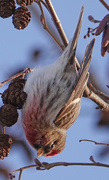 20th Jan 2021 - Common Redpoll